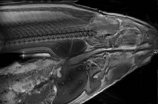 Ex vivo image (117x117x500 microns) of coho salmon.